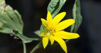 Kwiat słonecznika, który rozkwitł na ISS w 2012 roku / Credits - NASA
