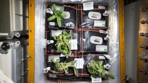 Rośliny Cynii uprawiane na ISS w ramach eksperymentu Veg-01 - zdjęcie z grudnia 2015 / Credits - NASA, Scott Kelly